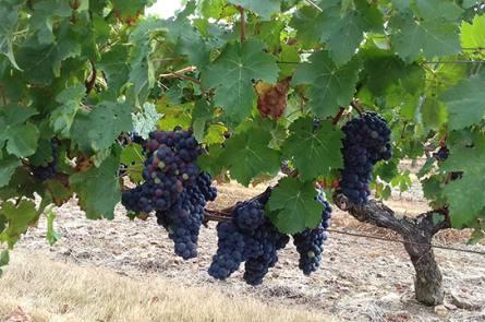 producteur de vin saumur